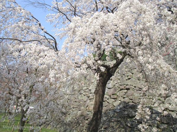 しだれ桜近景