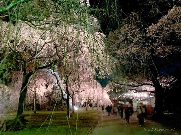 夜桜-しだれ桜の道