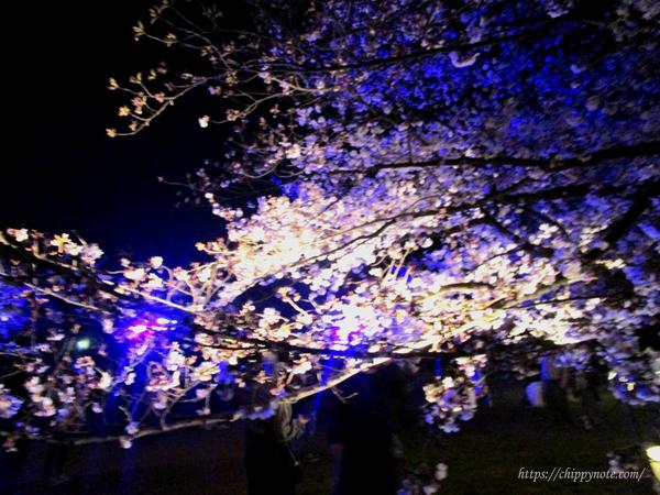夜桜ライトアップ-ハイライト