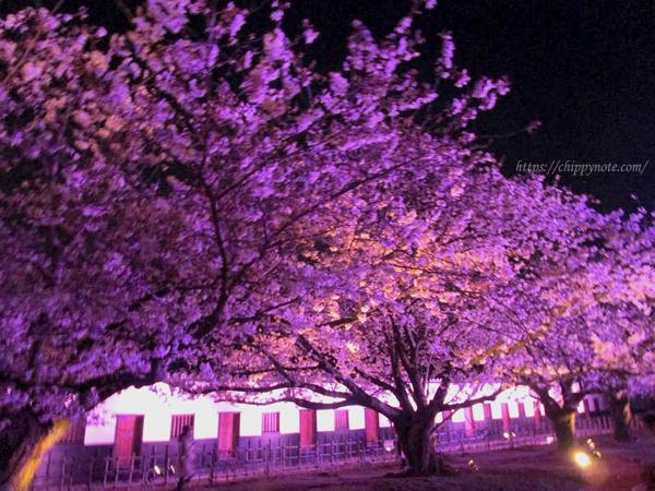 夜桜と櫓2