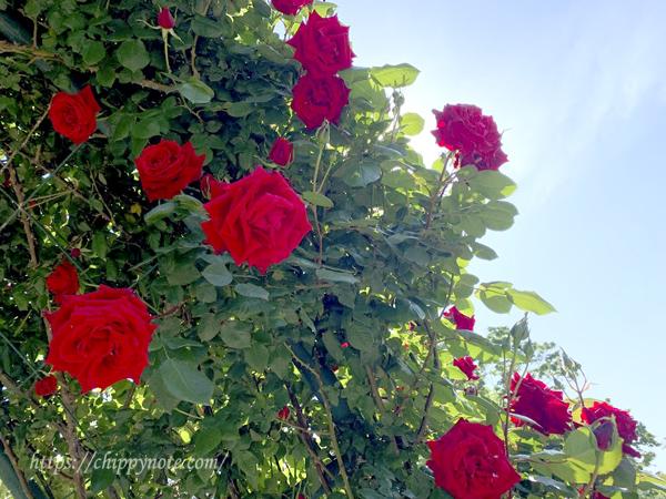 アイキャッチ-福岡動植物園の薔薇