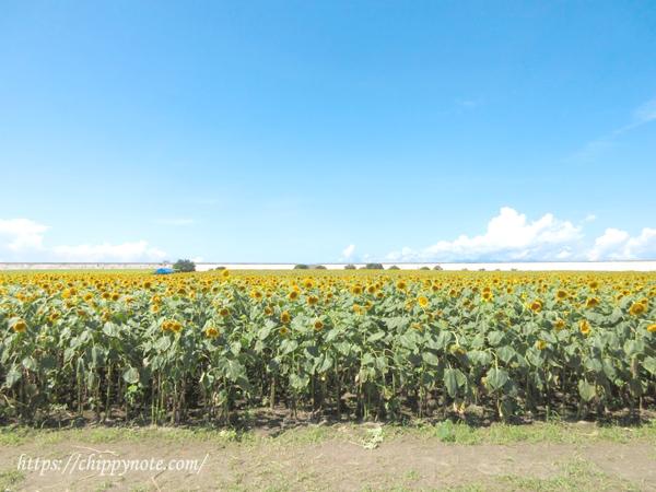 柳川の向日葵畑