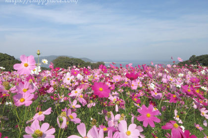能古島で女子旅♪満開のコスモスを見てきました-アイキャッチ