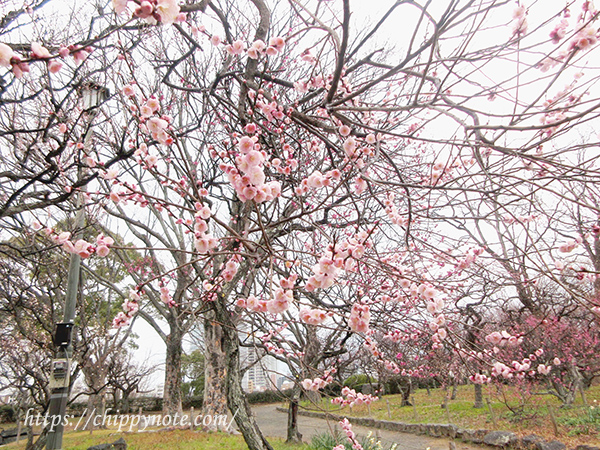 福岡城跡・梅の花