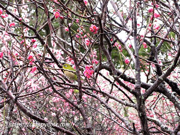 福岡城跡で梅を見てきました!-アイキャッチ
