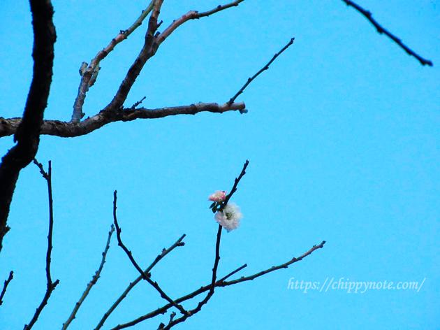 季節外れの「飛梅」開花